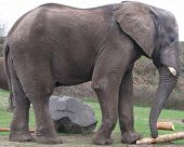Profile Of An African Elephant