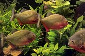 stock photo of piranha  - Underwater scenery with piranhas and aquatic plants