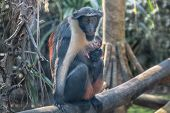 Diana Monkey And Monkey Cub. A Dark Grey Old World Monkey With White Throat, Crescent-shaped Browban poster