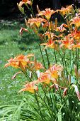 Vertical Image Of Bright Orange Tiger Lilies Tucked Into The Tall Green Grass Of Plants In Backyard  poster