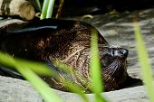 Sleeping New Zealand Sea Lion (phocarctos Hookeri). The New Zealand Sea Lion Numbers Around 10,000 A poster