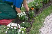 Girl Gardening On Knees Over Flowerbed