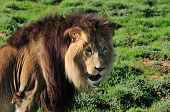 A Kalahari Lion, Panthera Leo, In The Addo Elephant National Park