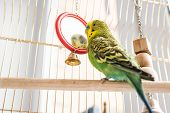 Funny Budgerigar. Cute Green Budgie Pa Parrot Sits In A Cage And Plays With A Mirror. Funny Tamed Pe poster
