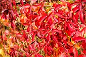 Autumn Branches. Autumn Red Leaves. Natural Pattern Made By Nature. Colorful Season. Beautiful Autum poster