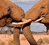Elephant brothers fighting trunk view