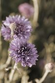 Cornflower or Bachelor's Button wildflower field in vintage light