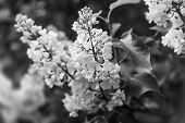 Soft Focus Image Of Blossoming Branch Of A White Lilac. Spring Blooming Lilac Tree Flowers. Lilac Bl poster