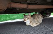 stray tabby cat hide under a car at street poster