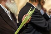 Religious Jew with a gray beard chooses lulav for the holiday Sukkot. Jewish autumn holiday Sukkot  poster