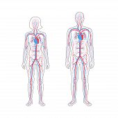 Vector Isolated Illustration Of Human Arterial And Venous Circulatory System Anatomy In Man And Woma poster