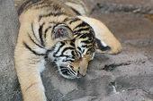 Tiger Cub-8 semanas velho