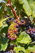 Champage Grapes
