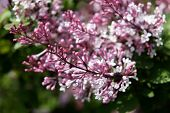 Blossoming Branch Of A Pink Lilac poster