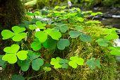 Hojas verde trébol irlandés en el bosque