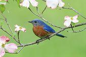 Bluebird With Dogwood Flowers