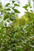 stock photo of parakeet  - Indian Ringnecked Parakeet parrot on the tree - JPG