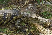 foto of crocodilian  - Juvenile American Crocodile Taking a Sunbath Ashore - JPG