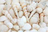 pic of cockle shell  - White sea shell selection forming an abstract background - JPG