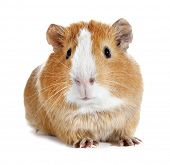picture of guinea  - Guinea pig little pet rodent - JPG