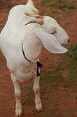 Постер, плакат: Белая коза изолированные