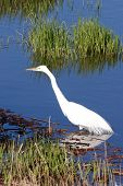 image of klamath  - Great Egret Casmerodius albus near Klamath Falls on Upper Klamath Lake - JPG