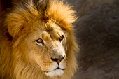 stock photo of lioness  - Close up portrait of a beautiful lion  - JPG
