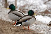 Ducks and drakes