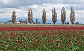 Spring Tulip Fields With Popular Trees In Background