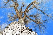 pic of cottonwood  - A vertical view of a strong cottonwood - JPG