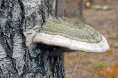 picture of bracket-fungus  - Bracket fungus fungus on the trunk of an old birch tree close - JPG