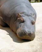 Hippopotamus Sleeping