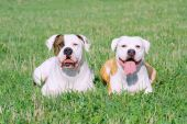 American Bulldogs On The Grass