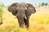 African Elephant Bull. Kruger National Park, South Africa