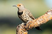 stock photo of woodpecker  - Female Northern Flicker Woodpecker sitting on a dead branch - JPG