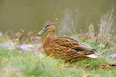 Mallard Duck On Grass By The River