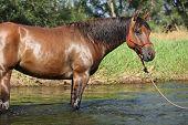 Nice Brown Horse Standing In Water
