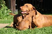 picture of vizsla  - Puppies of Hungarian Short - JPG