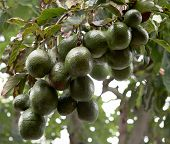 stock photo of avocado tree  - avocado tree - JPG
