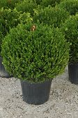 Ornamental plant, boxwood grown in pots