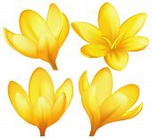 Vector yellow crocuses