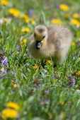 stock photo of baby goose  - Canadian Goose Gosling resting in the grass and eating - JPG