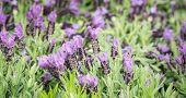 French Lavender Lilac Blooming In A Plant Nursery