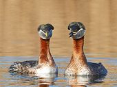 picture of grebe  - Red Necked Grebe in its natural habitat