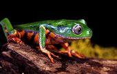 Tiger Leg Tree Frog.
