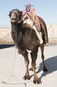 Camel With Saddle