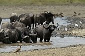 image of cape buffalo  - Cape Buffalo in Lake Nakuru National Park in Kenya - JPG