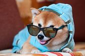 Clever And Happy Shiba Inu Dog With Blue Jacket, Hood And Glasses