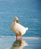 image of duck pond  - White Duck In The Water - JPG