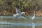 Caspian Tern In Flight With A Fish After A Successful Dive